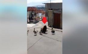 Moquegua: lobo marino, pelícanos y gaviotas recorren las calles en cuarentena