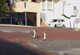 Captan a pingüinos recorriendo calles de Sudáfrica aprovechando la cuarentena