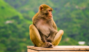 COVID-19: científicos de Oxford probaron con éxito vacuna en monos