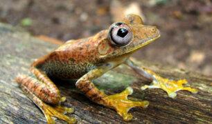 Minam: Perú cuenta con 622 especies de anfibios y es el más diverso del planeta