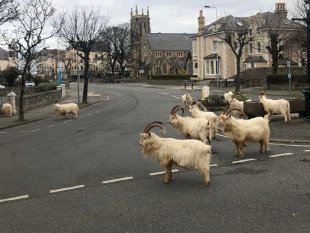 Cabras invaden un pueblo de Gales en medio de la cuarentena