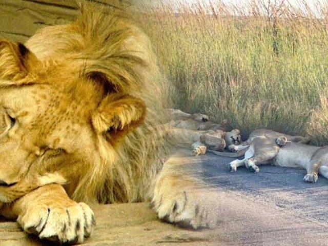 Leones duermen en las carreteras de Sudáfrica durante cuarentena por COVID-19