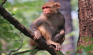 India: foto de primates respetando el distanciamiento social se viralizó