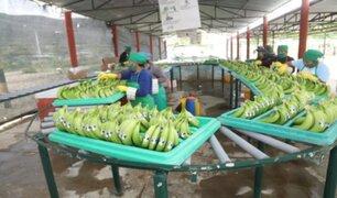 Piura: exportaciones de banano orgánico a Europa se incrementaron a más de 1.4 toneladas