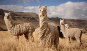 Alpaca, vicuña y guanaco también poseen anticuerpos efectivos contra el COVID-19