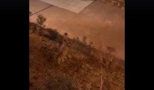 Un zorro campestre fue visto deambulando por las calles de la Molina
