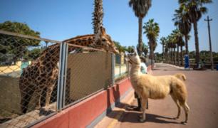 FOTOS: Animalitos pasearon por el Parque de las Leyendas en medio de inmovilización