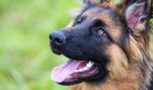 Reino Unido investiga si perros pueden detectar casos de coronavirus