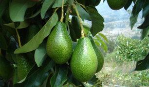 Estado de emergencia: la palta orgánica gana terreno en Huancavelica