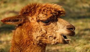Coronavirus: Laboratorio peruano inicia pruebas en alpacas de una posible vacuna