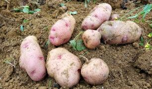 Perú posee 41 variedades de papa con alta calidad genética y buen rendimiento de cosecha