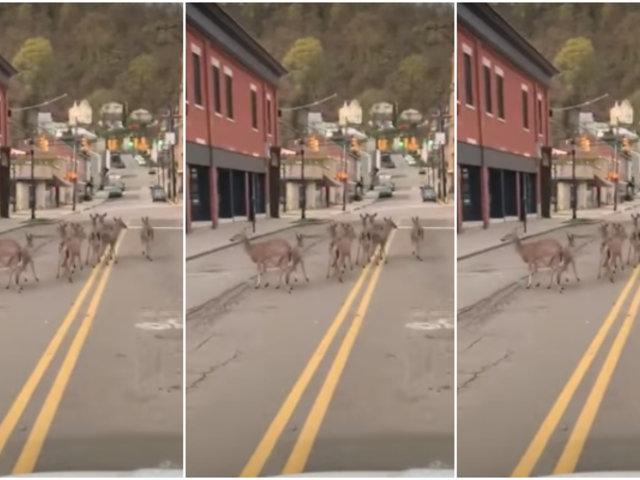 Ciervos aprovechan cuarentena para recorrer calles de ciudad estadounidense
