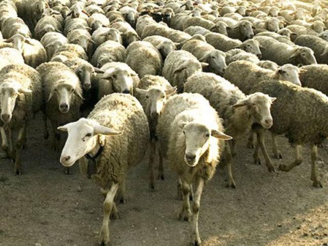 Turquía: decenas de ovejas tomaron importante vía de ciudad en plena cuarentena