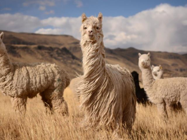 Chile: descubren que anticuerpo de alpaca contra COVID-19 también funcionaría contra variantes brasileña, británica y sudafricana