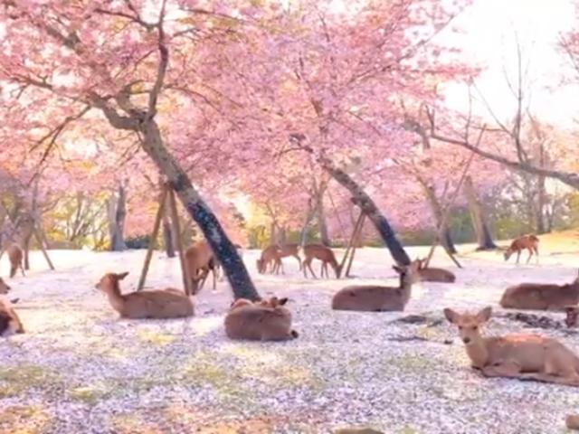 Japón: avistan a ciervos descansando en conocido parque aprovechando la ausencia humana