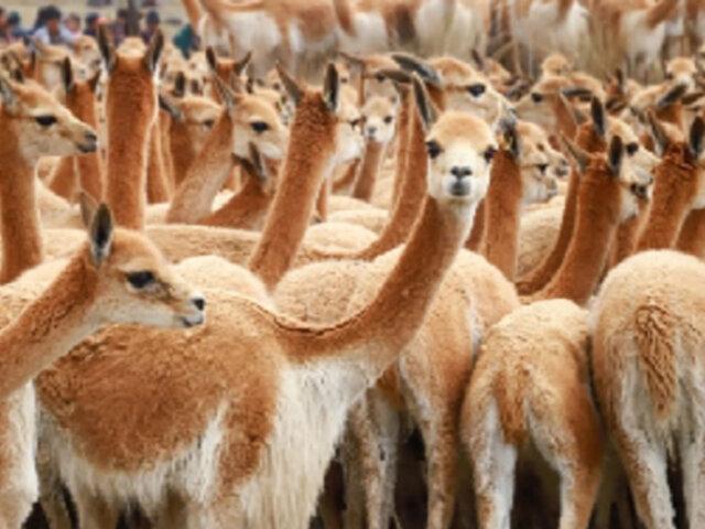 Piden investigar cacería furtiva de vicuñas durante cuarentena en Ayacucho