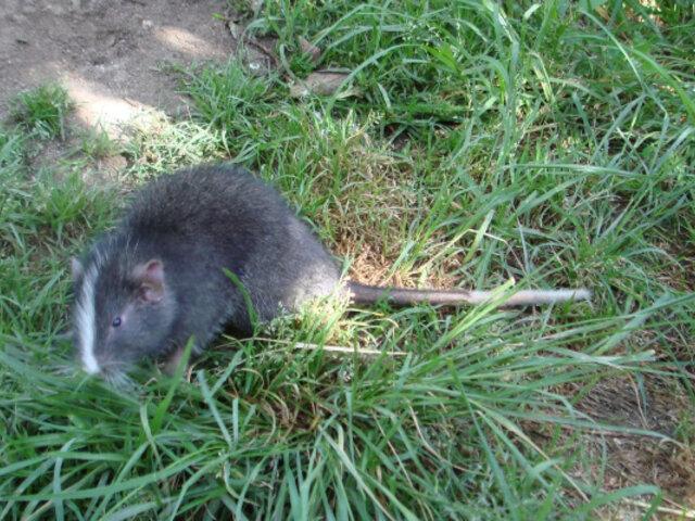 Rata chinchilla que se creía extinta vuelve a ser vista después de 11 años en Cusco