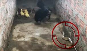 Una gallina se enfrenta a una cobra para proteger a sus pollitos