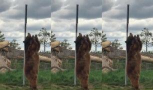 EEUU: captan a oso que pareciera bailar pole dance mientras se rasca con poste