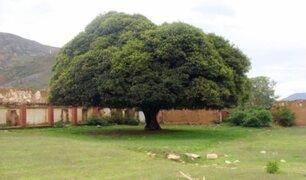 Minagri aprueba plan para recuperación del emblemático árbol de la Quina