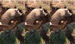 Rusia: trabajadores de construcción rescataron a cerdito de hueco usando excavadora