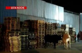 Chaclacayo: Toros escapan de camión accidentado y siembran pánico en los vecinos