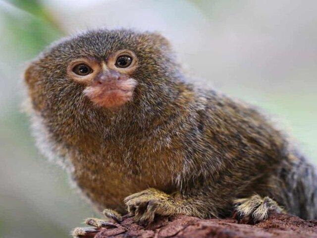 Primate más pequeño del mundo vive en Austria