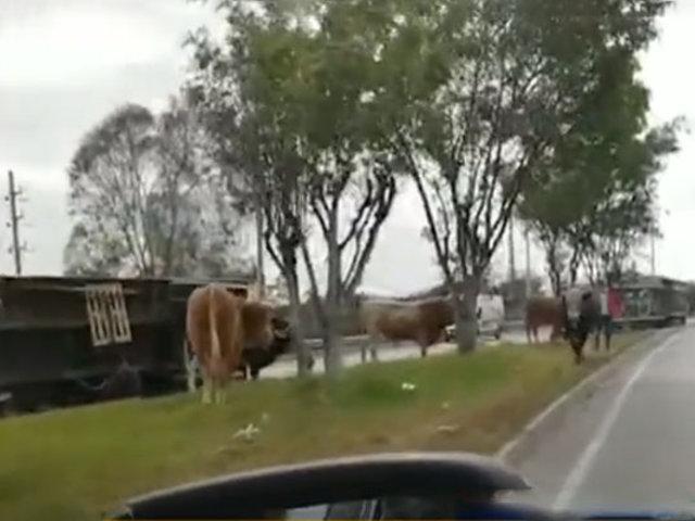 Trébol Javier Prado: camión con toros se vuelca y mueren cinco animales