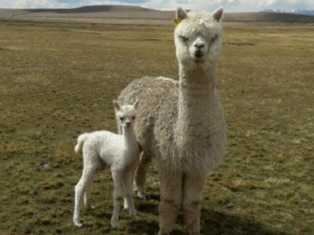 Senamhi: descenso de temperatura nocturna en la sierra provocaría muerte de crías