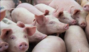 EEUU: alertan de nueva cepa de coronavirus en cerdos que podría propagarse a humanos