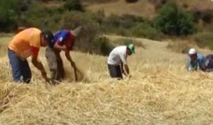 Huari: agricultores reinician actividades con la tradicional cosecha