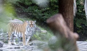 Tigre siberiano mata a cuidadora de zoológico en Suiza