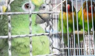 Tráfico de animales silvestres continúa por redes sociales pese a pandemia
