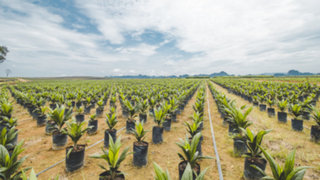 Concytec elabora envases biodegradables con residuos sólidos de palma aceitera