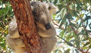 Australia: koalas regresan a su habitat tras sobrevivir a devastadores incendios
