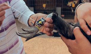 Denuncian pelea de gallos clandestina en vivienda de SJM