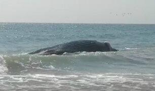 Piura: pobladores rescatan a ballena varada en una playa