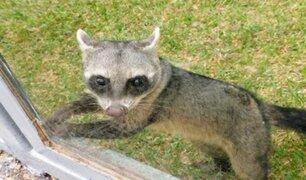 Parque de las Leyendas alberga por primera vez a un mapache sudamericano