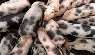 Brasil: alerta por nueva cepa de gripe porcina con potencial pandémico