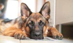 Muere primer perro que dio positivo para COVID-19 en Estados Unidos