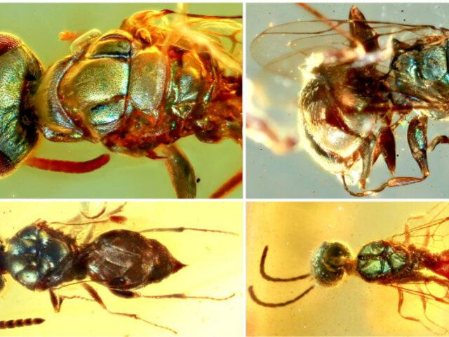 Fósiles en ámbar revelan vida de los insectos junto a los dinosaurios