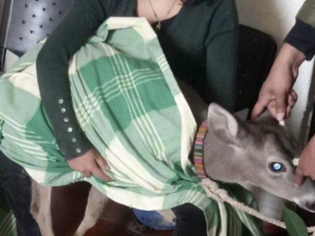 Cajamarca: rescatan venado cola blanca que estaba en cautiverio en vivienda