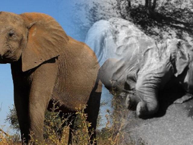 Encuentran cientos de elefantes muertos en Botswana