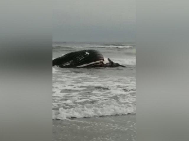 Hallan cadáver de ballena de más de 10 toneladas en playa de Puerto Eten
