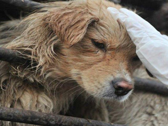 Camboya: región de Siem Reap prohibió comercio de carne de perro