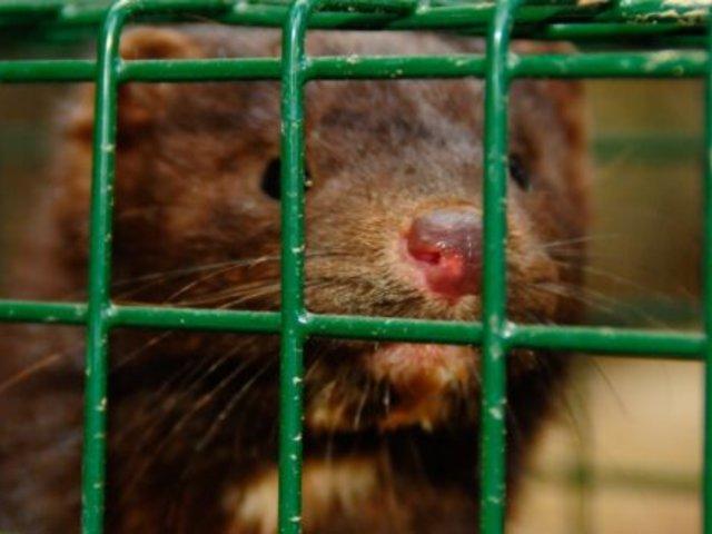 España: ordenan sacrificar a casi 100 mil visones con coronavirus