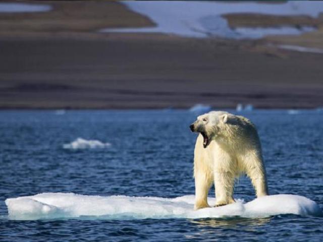 Osos polares podrían extinguirse antes de 2100, según estudio