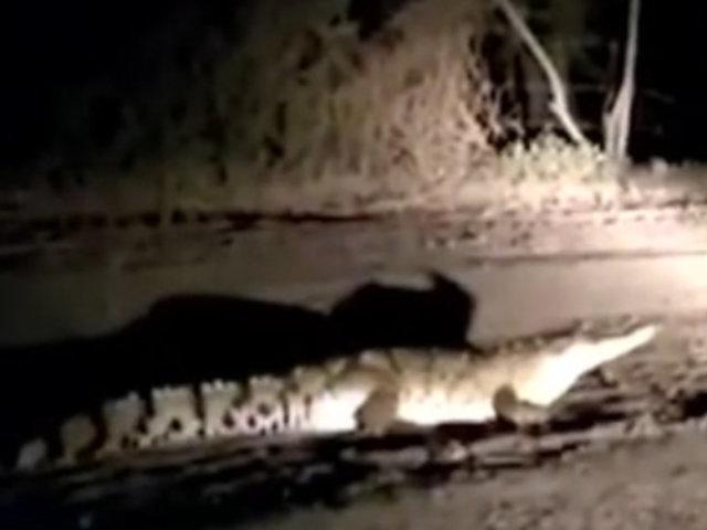 Tumbes: Alertan de cocodrilo que merodeaba en caserío