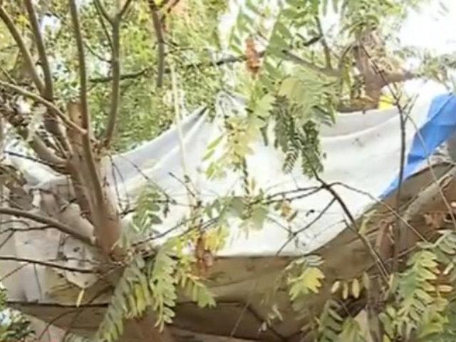 Los Olivos: vecinos denuncian a indigentes que arman casas en arboles