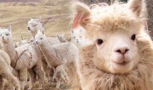 Hoy se celebra el Día Nacional de la Alpaca